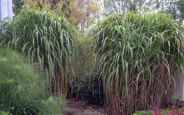 Miscanthus giganteus herbe aux l phants gramin e for Graminee geante